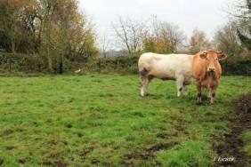 Vaches2carnieres