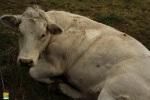vache a carnieres