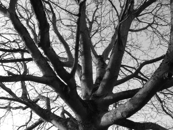 noyer-arbre